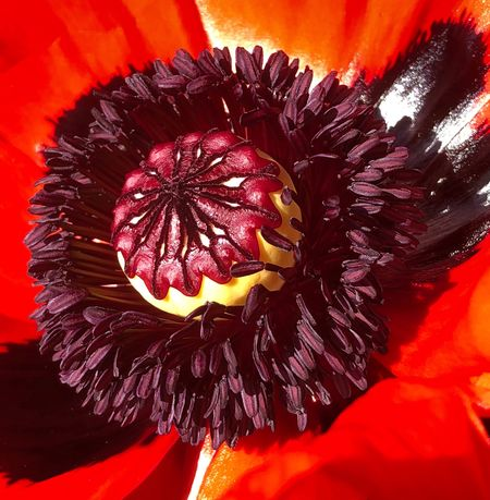 Poppy Macro Flower Flowering Plant Flower Head Freshness Close-up Plant Petal Inflorescence Beauty In Nature Fragility Red Vulnerability  Growth Pollen Vibrant Color Nature No People Outdoors Day Softness