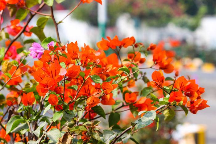 ORANGE COLOUR BOUGAINVILLEA Bougainvillea Beauty In Nature Flower Head Flower Tree Multi Colored Leaf Autumn Close-up Plant Blossom In Bloom