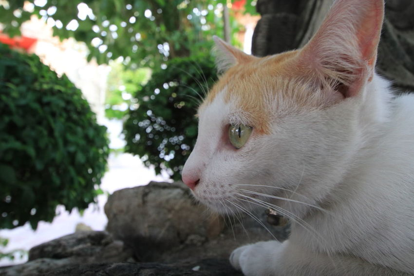 Portrait an adorable beautiful yellow eyes of white cat lying on the ground 4 Legs 9 Life Big Eyes Portraits Adorable Animal Themes Close-up Day Domestic Animals Domestic Cat Feline Focus Focus On Foreground Fur Lazy Cat Macro Mammal Nature No People One Animal Outdoors Pets Portrait Sitting Whisker