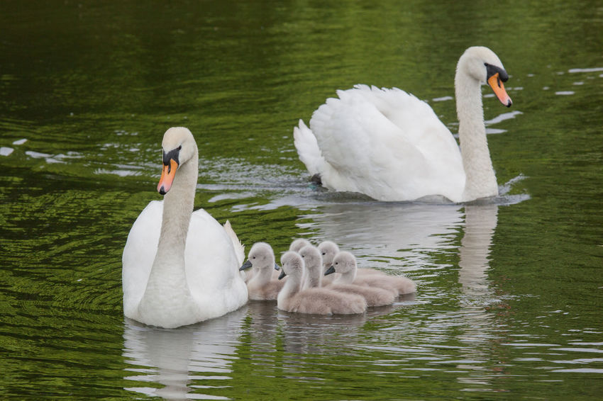 A family of swans on the Sankey Canal, Cheshire Algae Birds_collection Canal Canals Cheshire Cygnet Cygnets Day Nature Outdoors Sankey Sankey Valley Park Swan Swans Warrington Wildlife First Eyeem Photo