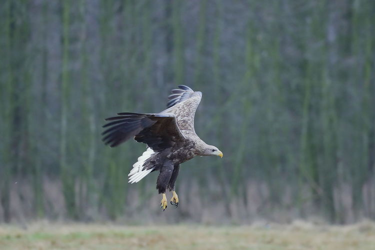 A white-tailed eagle in flight