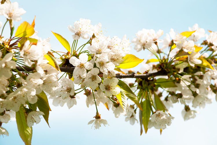 beautiful cherryblossom Beauty In Nature Blossom Branch Bunch Of Flowers Cherry Blossom Cherry Tree Close-up Flower Flower Head Flowering Plant Fragility Freshness Growth Low Angle View Nature No People Outdoors Petal Plant Pollen Sky Springtime Tree Vulnerability  White Color