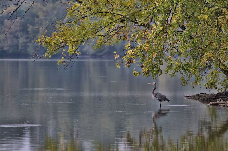 Fall Hunt Animal Wildlife Bird Animal Themes Animals In The Wild Tree Animal Vertebrate Lake Water Plant One Animal Reflection Beauty In Nature Nature Waterfront Water Bird No People Day Branch Outdoors Great Blue Heron Great Blue Heron In Water