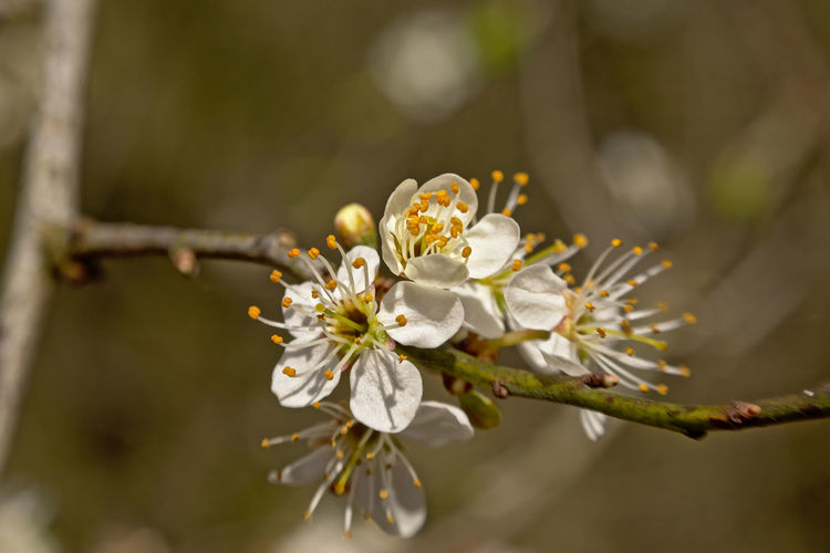 White prunus spring blossoms close up, selective focus with bokeh brown background Prunus White Bokeh Flower Plant Fragility Vulnerability  Growth Freshness Branch Tree Close-up Blossom Springtime Nature Twig Focus On Foreground No People White Color Petal Fruit Tree Flower Head Pollen Cherry Blossom Outdoors