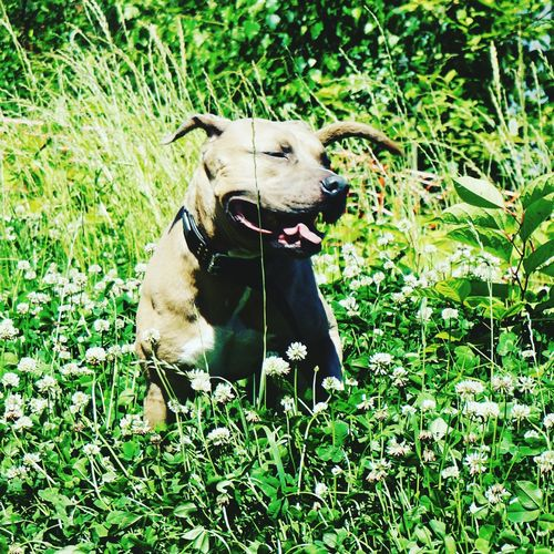 Sunnyday Nature_collection Grass Flowers Amstaff Tongue Out Posing For The Camera Having Fun Playingwiththeanimals Dog Dogslife Dogsofeyeem SmallEyesBigDreams Happydog The Week On EyeEm Pet Portraits This Is Family