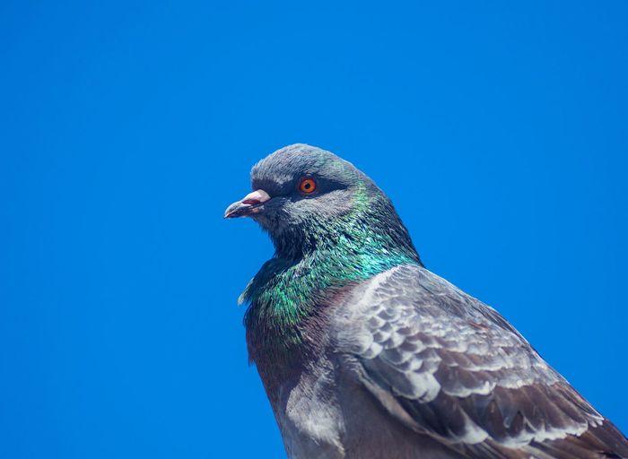 Pigeon blue sky