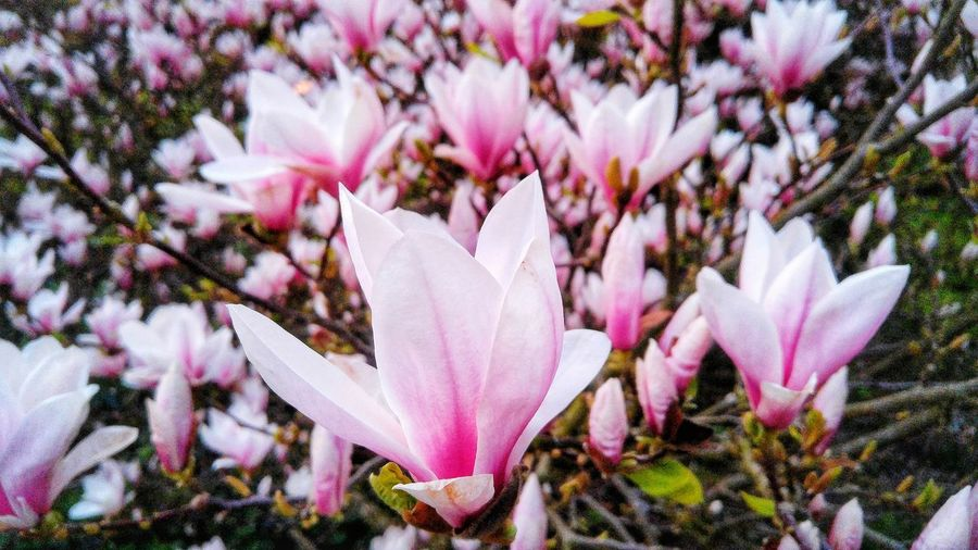 Flowers in bloom Park Beauty In Nature Pink Backgrounds Nature Rose - Flower Sky Flower Head Flower Tree Pink Color Springtime Petal Close-up Blooming Plant In Bloom Plant Life Blossom Pistil Stem Purple Color Botany Apple Blossom Cherry Blossom Rhododendron Magnolia Pollen
