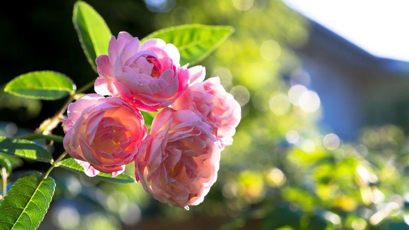 逆光のプリンセスマザー Polyantha Flowers In My Garden Old Rose Flowerporn Margo's Sister Roses Backlight Flowers
