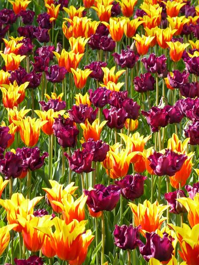 Full frame of tulips blooming in field