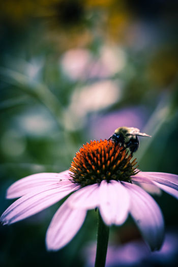 Bee Pollinating On Eastern Purple Coneflower Outdoors