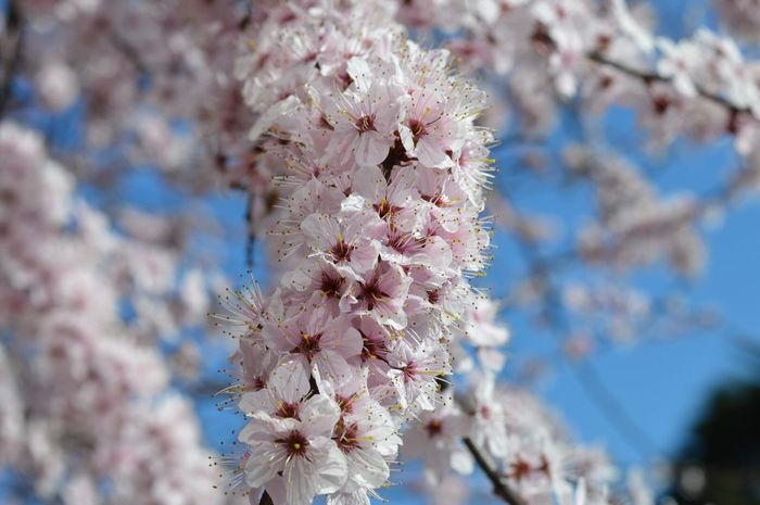 Flower Nature Fragility Beauty In Nature Growth Freshness Close-up Springtime Blossom Day Outdoors No People Tree Branch Flower Head Sky Plum Blossom