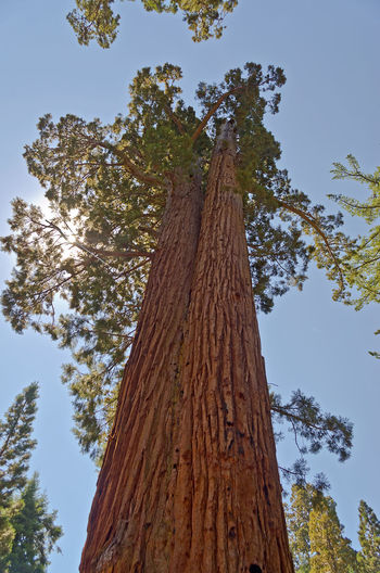 Giant Sequoias, Mariposa Grove in Yosemite National Park, California, USA Bark Beauty In Nature Branch Close-up Day Growth Low Angle View Nature No People Outdoors Pine Tree Sky Tree Tree Trunk