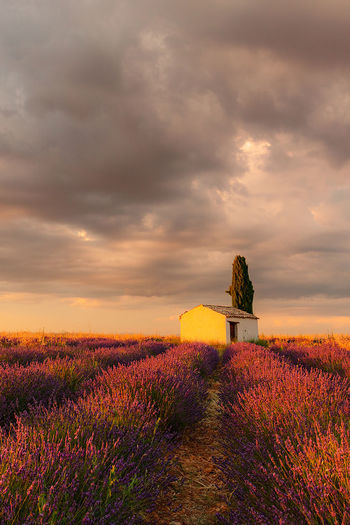 Lavender under stormy clouds Agriculture Beauty In Nature Built Structure Cloud - Sky Dramatic Sky Environment Field Flower Flowering Plant Growth Land Landscape Lavender Nature No People Outdoors Plant Purple Scenics - Nature Sky Sunset Tranquil Scene Tranquility