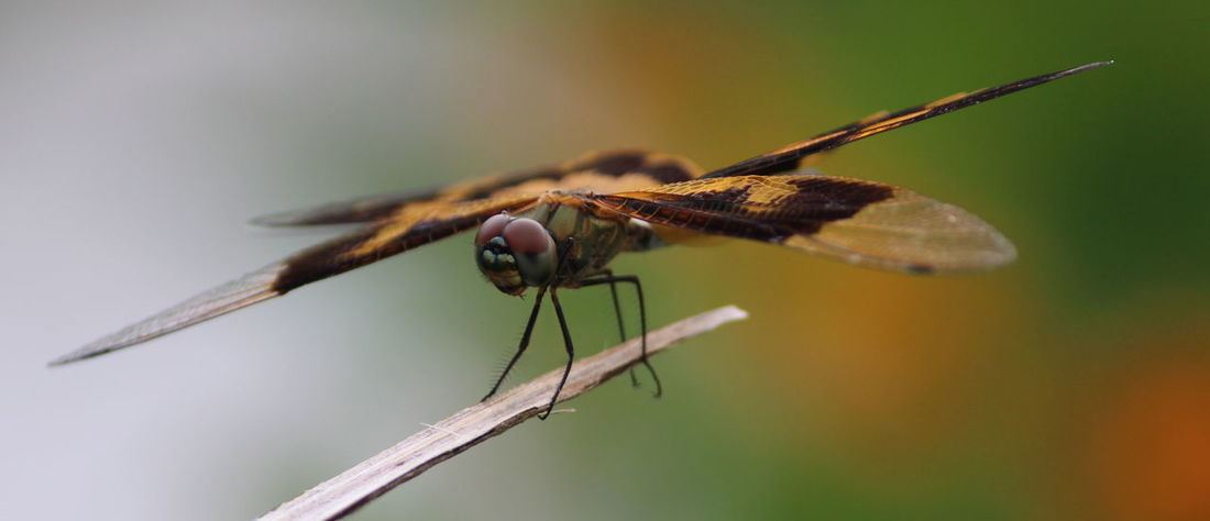 Insect Macro Close-up Day Outdoors Damselfly Stereo Beauty In Nature Spread Wings Beauty In Nature EyeEm Selects EyeEmNewHere Nature Beauty Grass Plant Flying EyeEm Best Shots EyeEm Gallery EyeEmPaid EyeEm Nature Lover