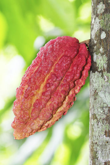 Cacao fruits Pod Close-up Chocolate Nature Day Outdoors Tree Red Leaf Cocoa Nature