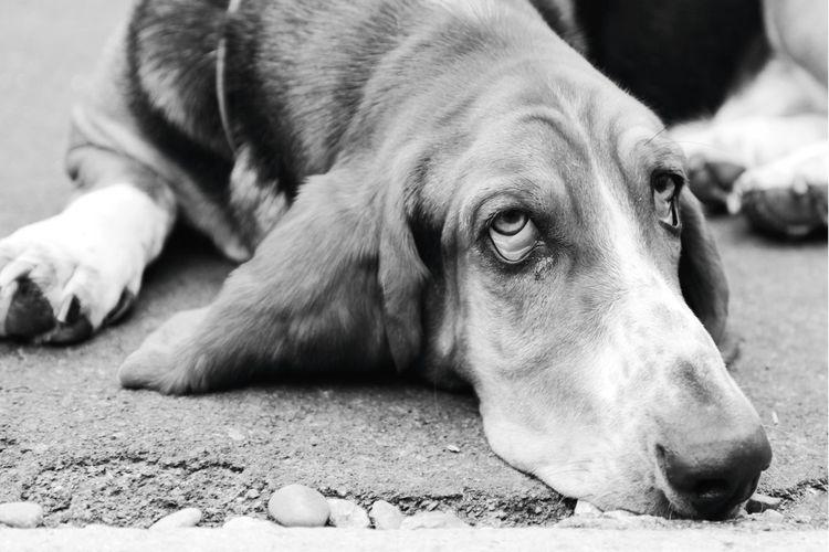 Animal Animals Pet Pets Dog Dogs Laying Down Lazy Lazy Day Sad Sleepy Sleepy Dog Emotions Black And White Eyes Bored EyeEm Best Shots Check This Out Portrait Portraits Bassethound Basset Hound MISSIONS: The Street Photographer - 2017 EyeEm Awards The Portraitist - 2017 EyeEm Awards Pet Portraits The Portraitist - 2018 EyeEm Awards