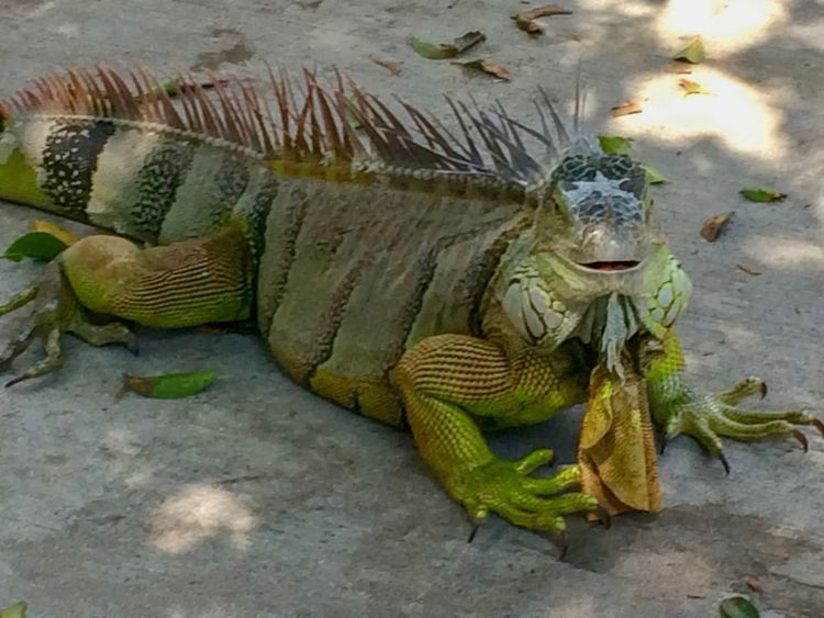 Happy Iguana Animals In The Wild Animal Themes Reptile One Animal Animal Wildlife Day No People Close-up Green Color Iguana Outdoors Nature
