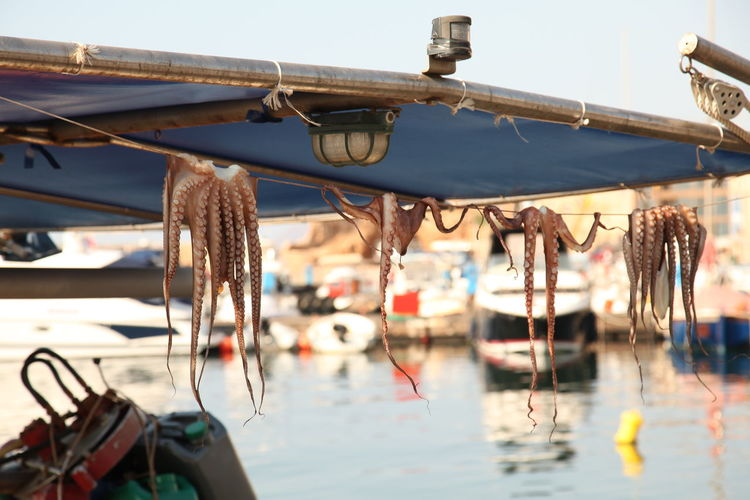 Octopuses Drying On Rope At Harbor