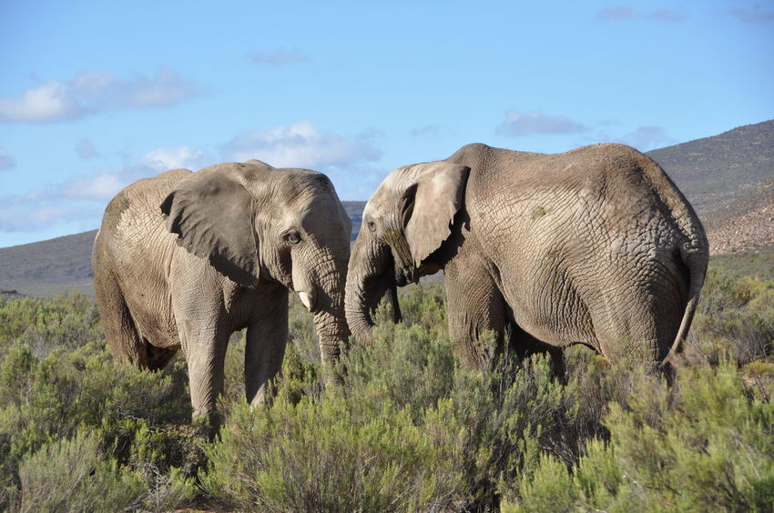 African Elephant African Wildlife Animal Themes Animal Wildlife Animals In The Wild Aquila Game Reserve Beauty In Nature Cloud - Sky Couple Day Elephant Grass Mammal Nature No People Outdoors Safari Animals Sky Sunrise Togetherness Tusk