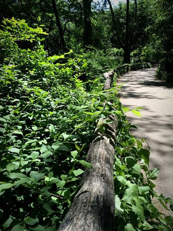Path Pathway Way Nature Nature_collection Nature On The Road Green Leaf Vegetation Tree Trees Nature Photography Central Park CentralPark Central Park - NYC New York New York City NYC NYC Photography The Great Outdoors - 2016 EyeEm Awards Adapted To The City The City Light