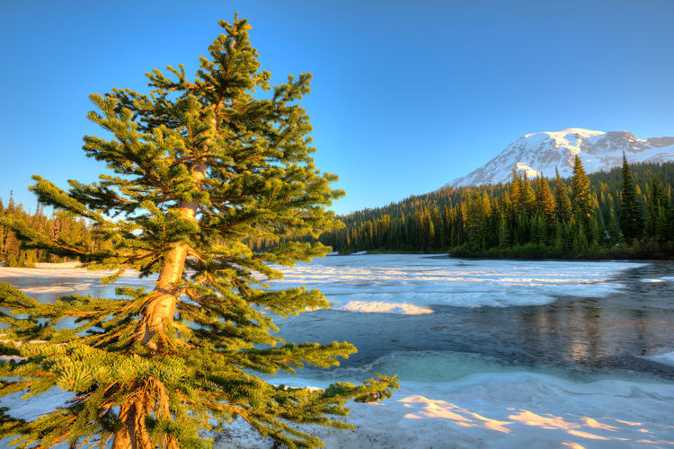 Pine trees on snow covered mountains against sky
