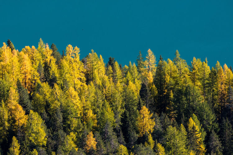 View of yellow autumn trees in forest