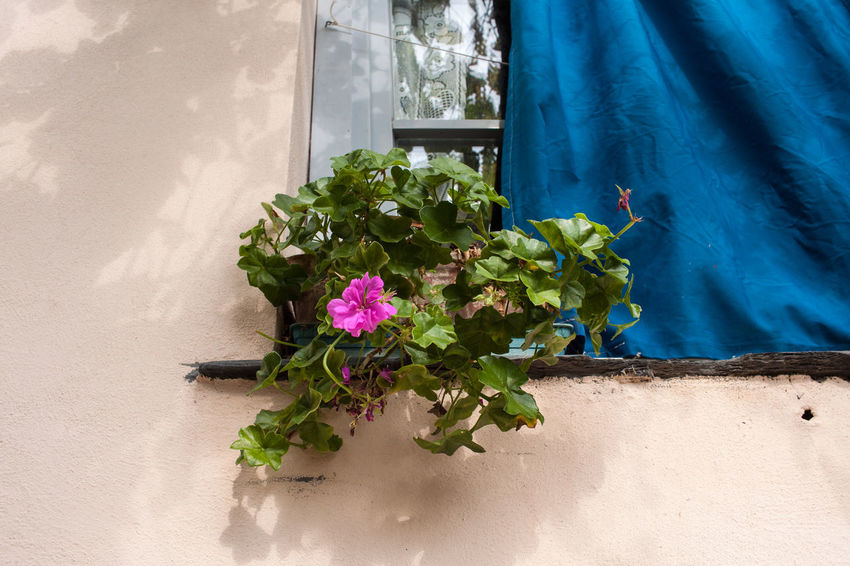 Architecture Close-up Curtain Day Flower Flower Head Fragility Freshness Nature No People Plant Window