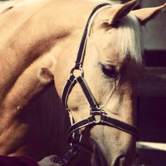 Horse Horseriding Love Louna Palomino Painthorse Sweetie. 💘