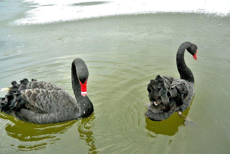 Two Black Swan In Lake