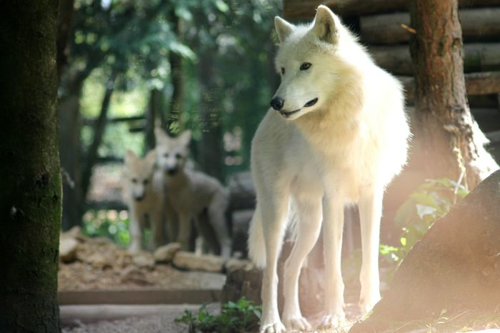 Animal Themes Animals In The Wild Animal Wildlife Outdoors Nature Beauty In Nature LoveNature Wolfs