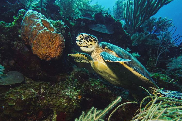 🐢The hungry hawksbill🐢~ Underwater UnderSea Sea Animal Wildlife Animals In The Wild Reptile Water Beauty In Nature Grandturk Underwater Diving Turksandcaicos Paradise Adventure Animal Themes
