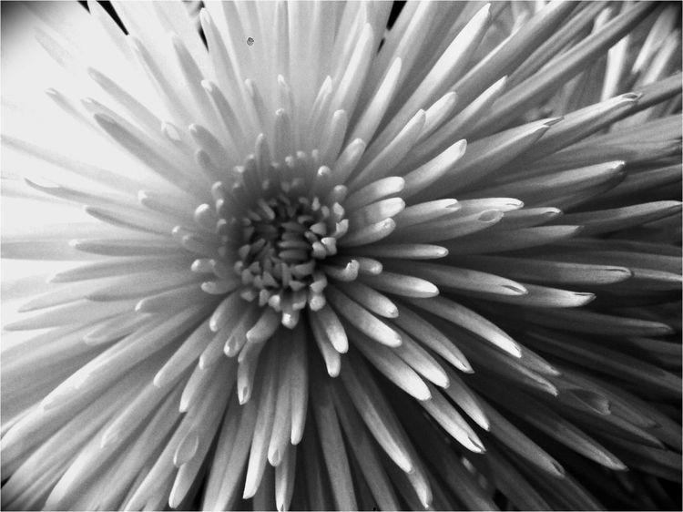 Chrysanthemum 1 Urban Nature Black & White Light And Shadow