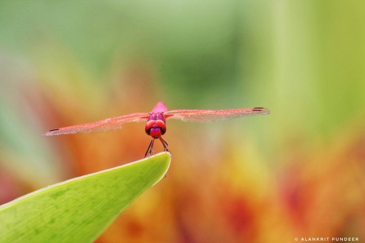 Insect Animals In The Wild One Animal Animal Wildlife Leaf Macro Red Animal Themes Close-up Day Green Color Focus On Foreground No People Nature Outdoors Multi Colored