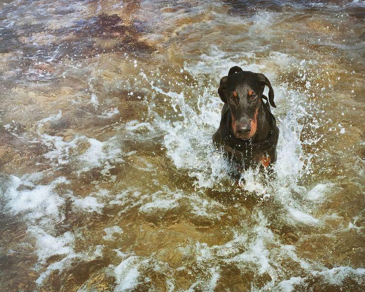 Super Manfred 🐲 Summer Dogs Dobermann Sardegna Dogslife First Bath Dog Love Sea Puppy Baby Boy Holiday