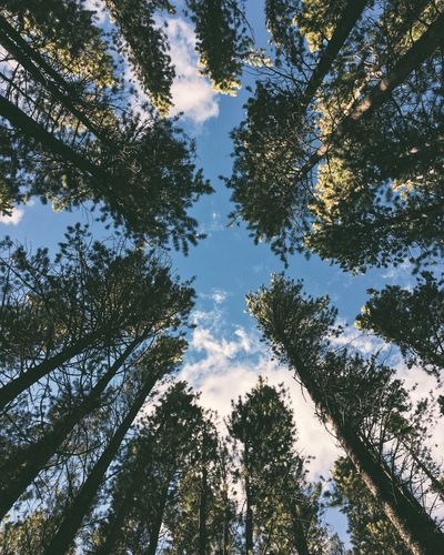 Between The Pine Trees Tree Nature Sky Beauty In Nature Low Angle View Growth Blue Tranquility No People Outdoors Scenics Day Branch Treetop Forest Into The Wild Flying High Breathing Space Go Higher