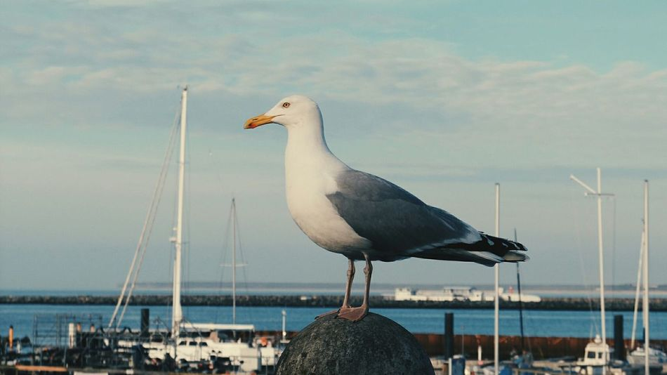 Who doesn't love Seagulls? Found this happy fellow in Warnemünde the other day. East Sea Sea Bird Seagull