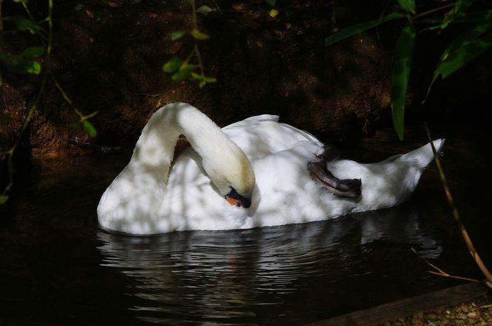 Swan Animal Themes Animals In The Wild Animal Behavior Swan Preening Shadow And Light Water Bird EyeEm Selects