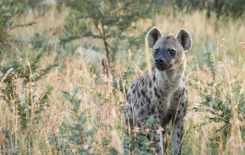 Wild Dog Amidst Grass In Forest