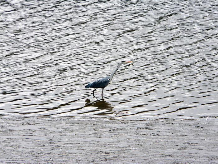 Wet Bird Grey Heron  Walking In Water Wet Animal Bird Full Lenght Avian
