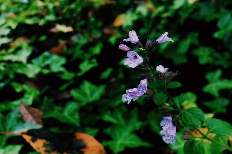 雨、だね。 つーか、台風か。 写真は庭のミントの花。 庭中のあちこちに何種類かのミントが生えてる。なんで直植えしちゃったもんかなぁ。 ミントの花 Mint Flower