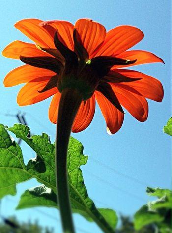 Flowers My Garden My Garden @my Home EyeEm Flower EyeEm Best Shots - Nature Oklahoma Nature EyeEm Nature Lover Sunflower Mexican Sunflowers Tulsa, Oklahoma Home Is Where The Art Is Eyeemphoto