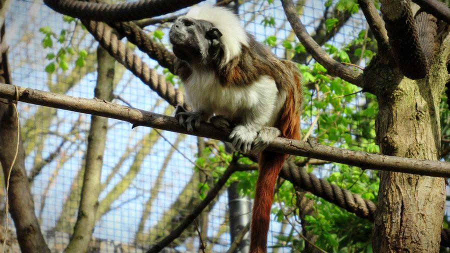 saguinus oedipus Naturelovers Monkeys Beautiful In Nature Animal Animal Themes Nature Tranquil Scene No People Saguinus Oedipus Tree Close-up Sky Primate Animals In Captivity