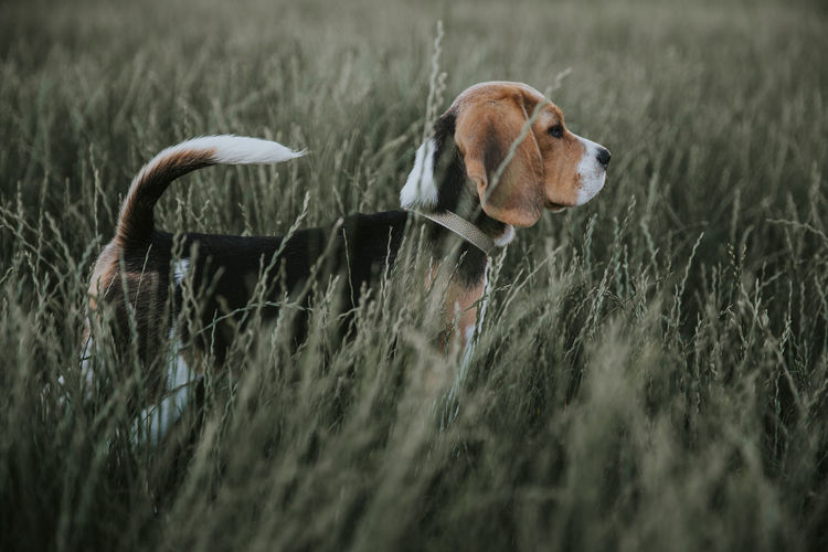 PuppyLove Animal Themes Beagle Dog Domestic Animals Grass Nature One Animal Outdoors Pets Puppy