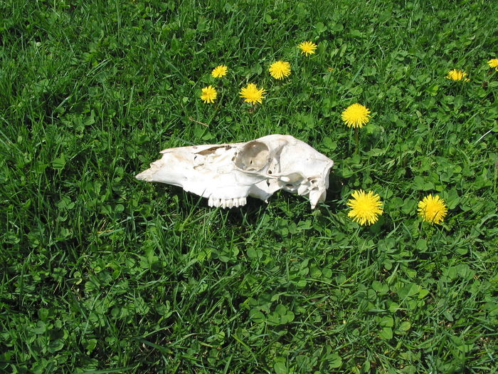 Cycle Of Life Dandelion Day Death Elevated View Field Flower Flower Head Fragility Grass Grassy Green Color Ground Growth In Bloom Lawn Nature No People Outdoors Pesticides Plant Skull Tranquility Weeds Yellow