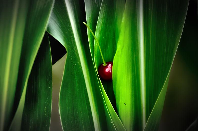 corn & cherry