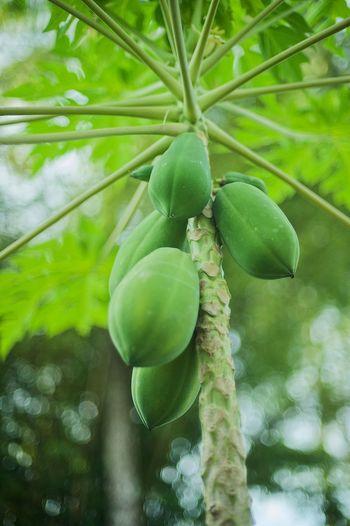 Papaya Papaya Growth Tree Fruit Plant Green Color Healthy Eating Food Nature Leaf Plant Part