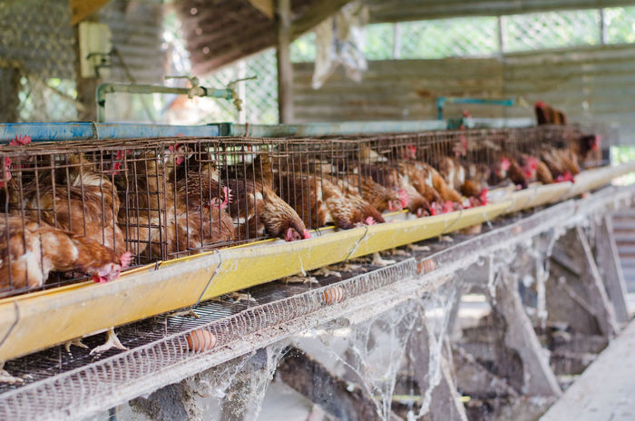 Farm Lifestock Agriculture Animal Animal Themes Bird Chicken Chicken - Bird Day Domestic Domestic Animals Farm Food Food And Drink Group Of Animals Hen Large Group Of Animals Livestock Mammal Meat No People Poultry Production Line Retail  Vertebrate