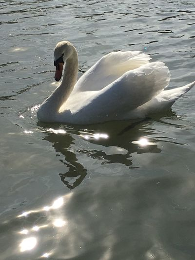 Swan Swan On The River Beautiful Swan Water Reflections Sunlight Sun Reflection On Water Reflections Beauty In NatureEye4photography  EyeEm Best Shots EyeEm Gallery Eyemphotography
