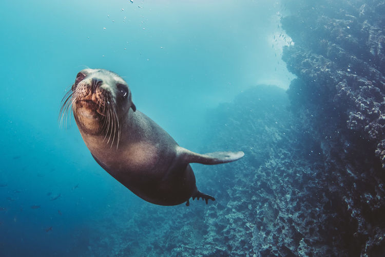 Close-Up Of Sea Lion Swimming Underwater