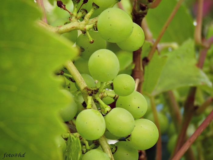 Baby Grapes Flowers Macro_collection Nature Enjoying Life